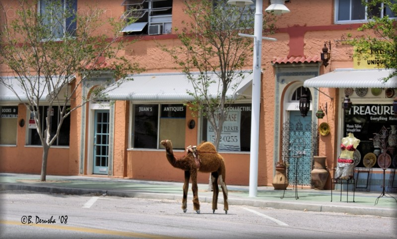 Camel on Main Street