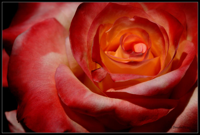 A Rose for a Special Friend