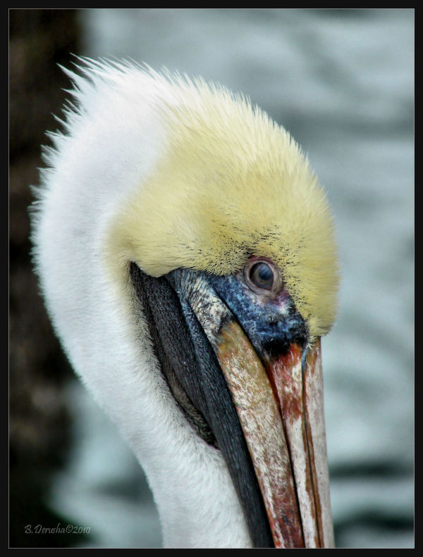 Wildlife pelican