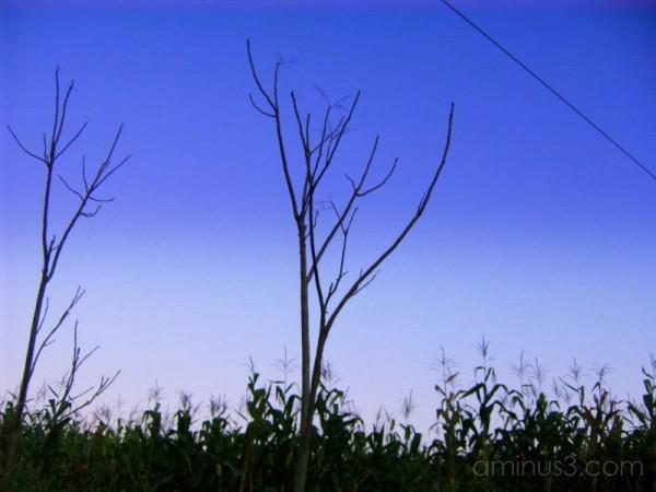 cornfield sentries