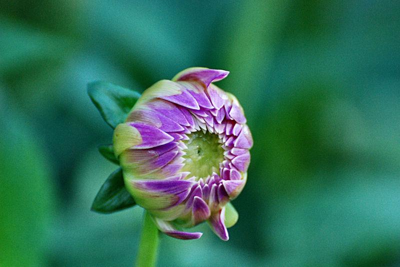Fleur, plante, nature, dahlia