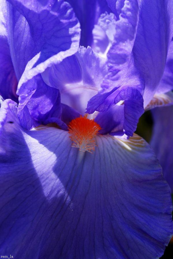 Fleur,Glaieul,Vincennes,Parc_Fleural