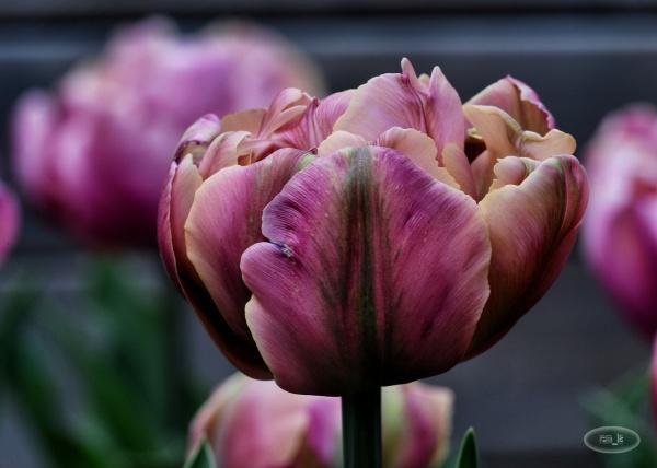 tulippe,fleur,vincennes