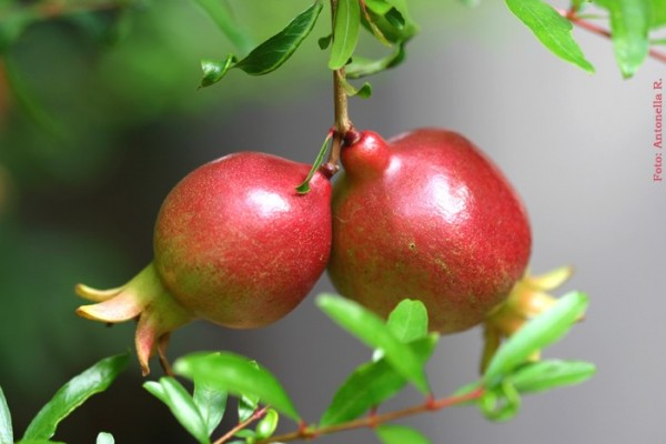 Dwarf Pomegranate (Punica granatum 'Nana')