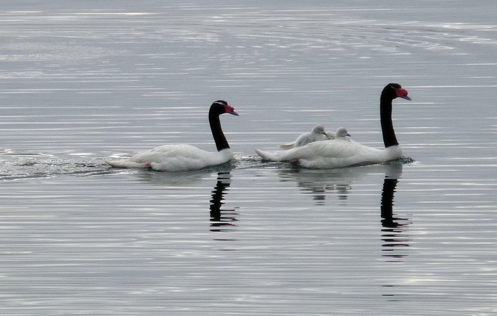 Black necked swan