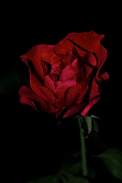 Night Rose - Plant & Nature Photos - Anti-digi-tube Life Show