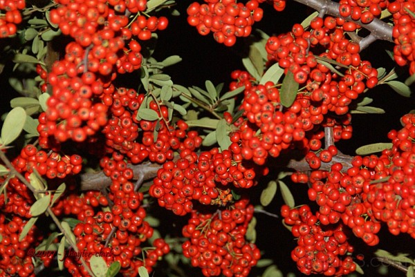 Pyracantha or Firethorn Berries