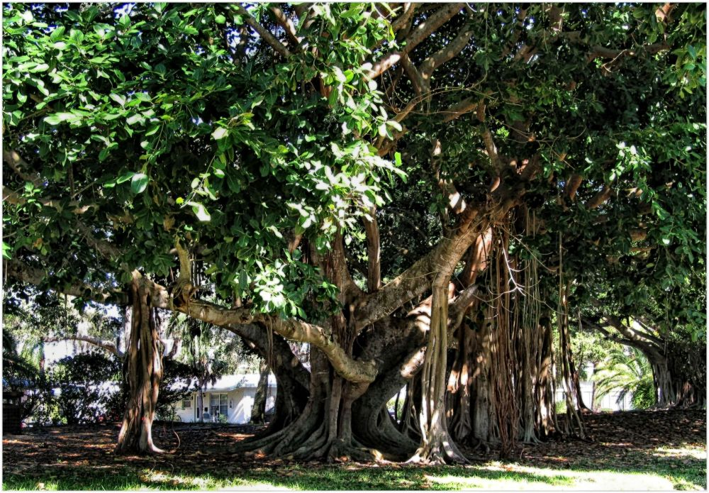 Banyan tree...