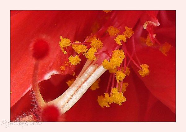 Globes of Hibiscus Pollen...