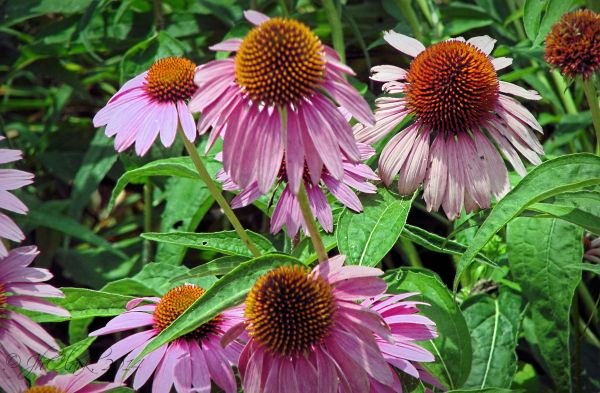 New Jersey cone flower...