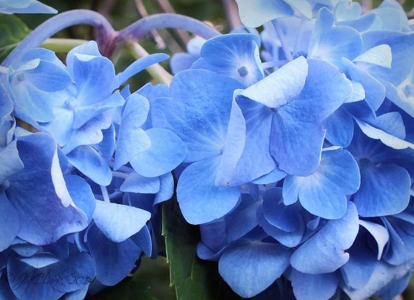 Hydrangea blue...