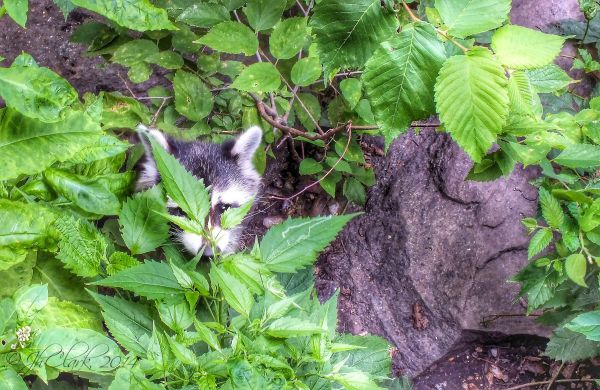 Central Park's silly raccoon...