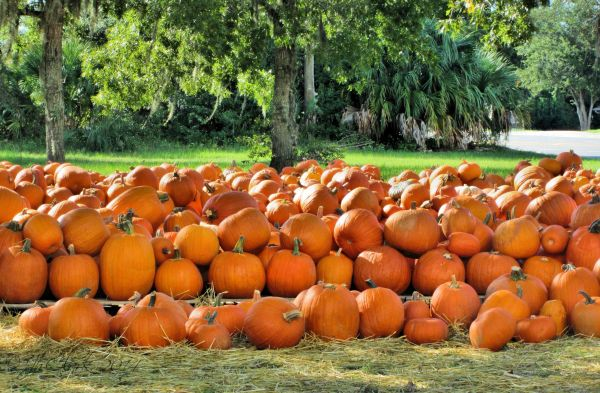 Pumpkin Patch in Spring Hill, FL...