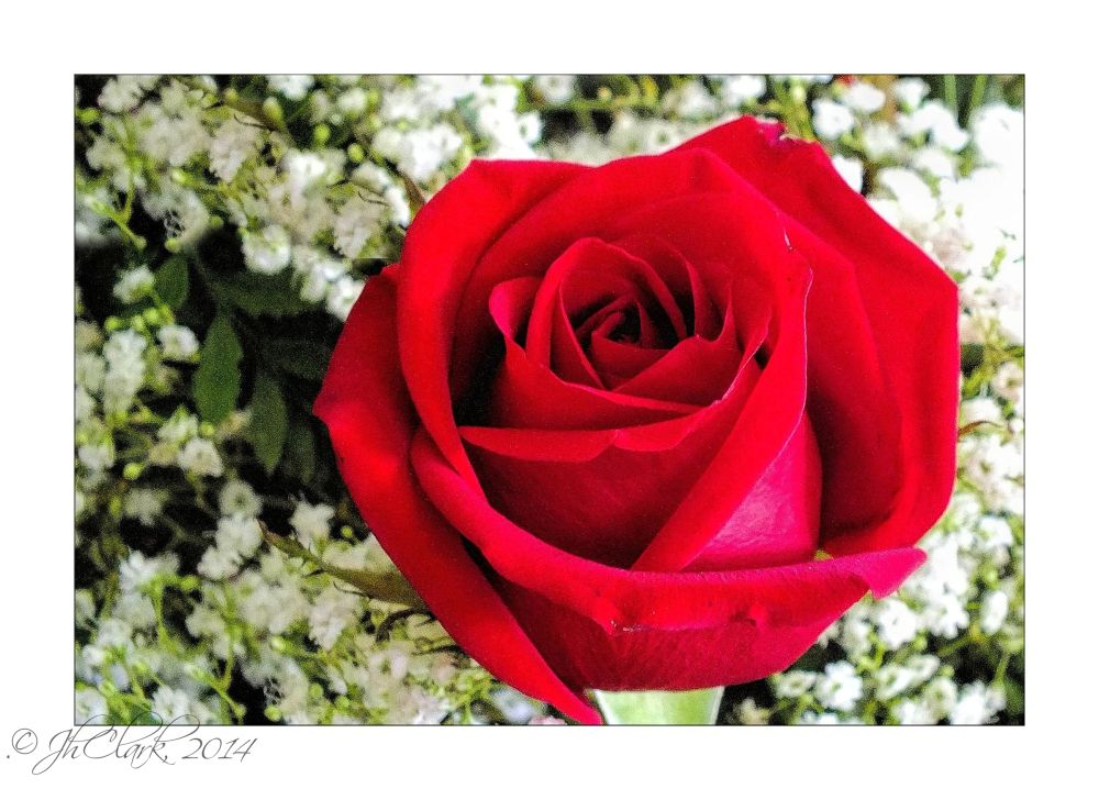 Single red rose...