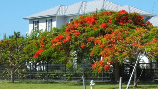 Royal Poinciana in full bloom...