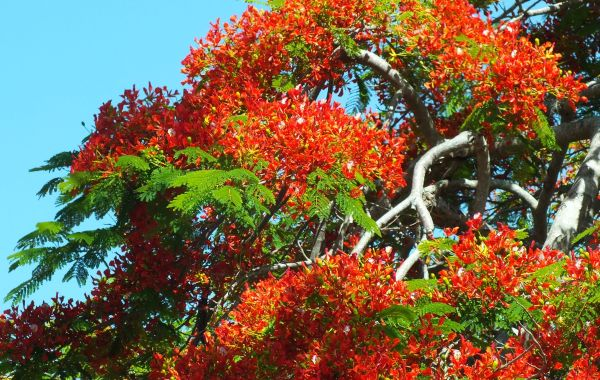 Royal Poinciana in full bloom 2