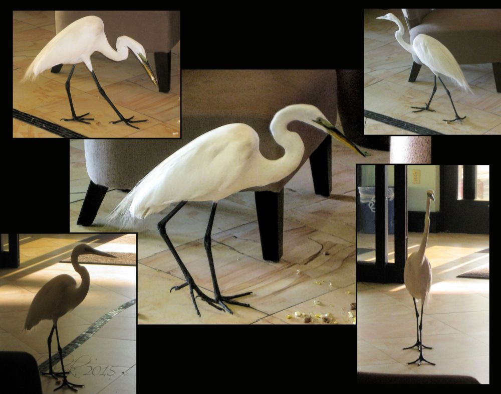 Silly Great Egret...