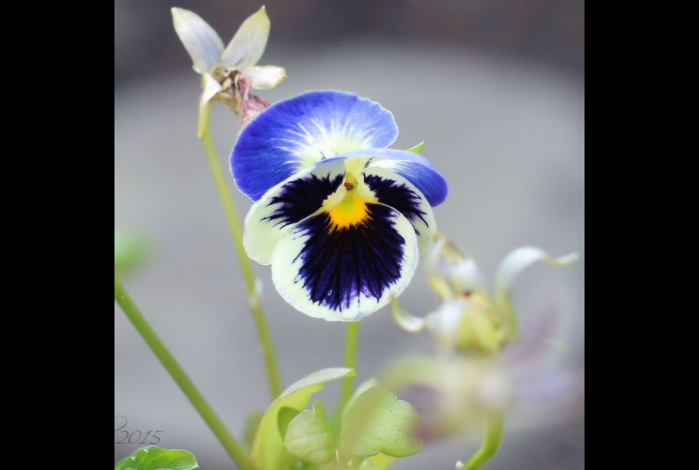 Hello, pretty Pansy!