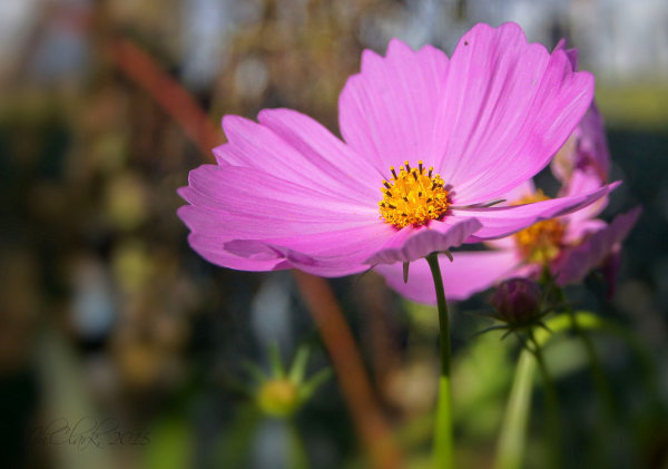 Late season Cosmos...