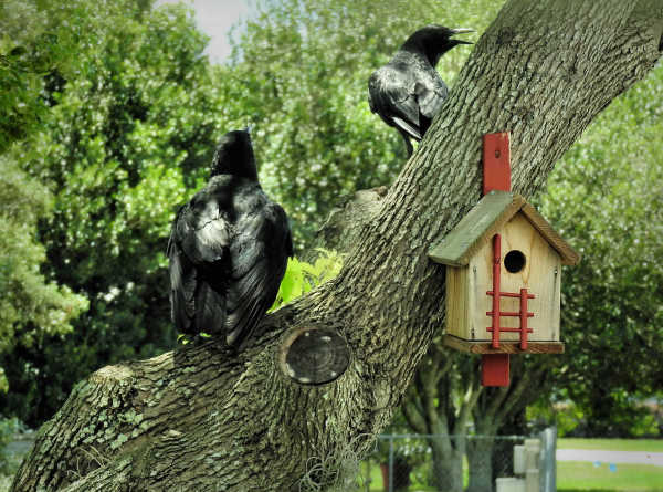 Two big crows...