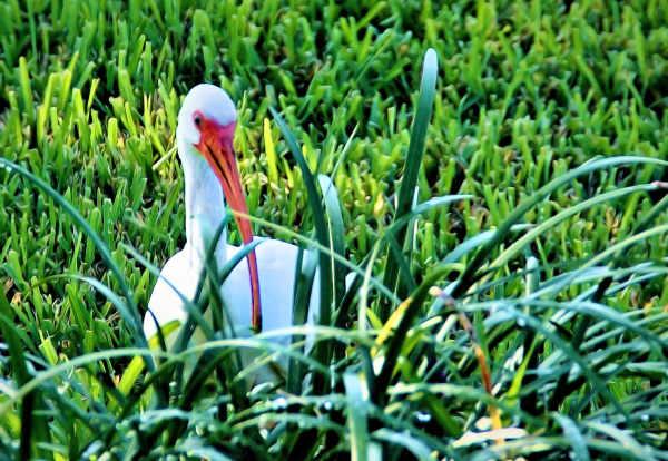 """Silly duck"" ... I'm an Ibis"