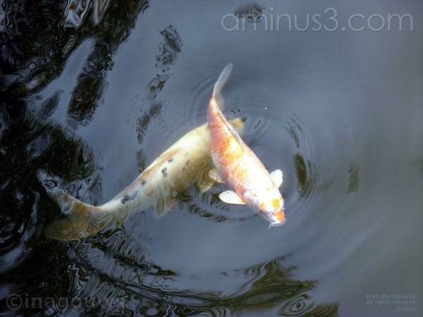 Two koi fish in pond