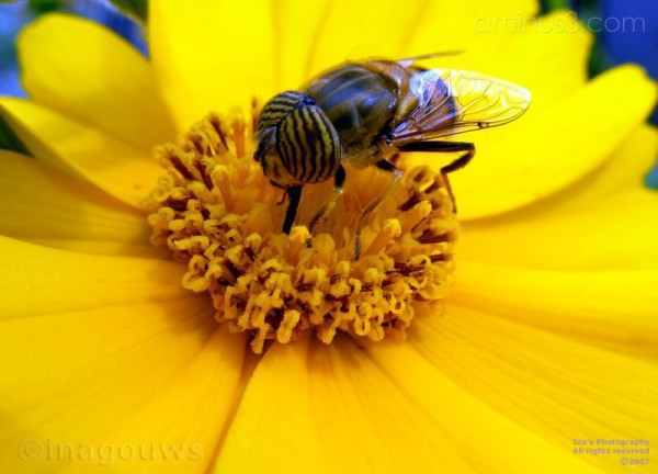 Closeup of striped bee on yellow flower