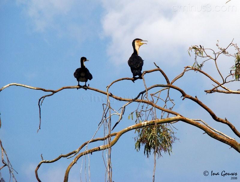 Cormorant, sea-raven or shag