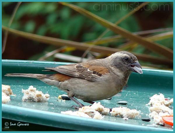 Bird eating sunflower seed