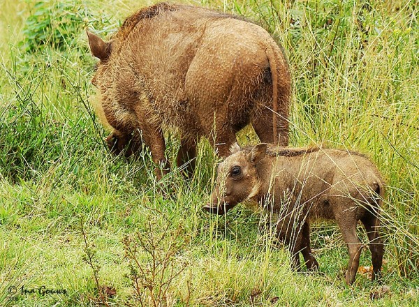 Mother warthog and baby