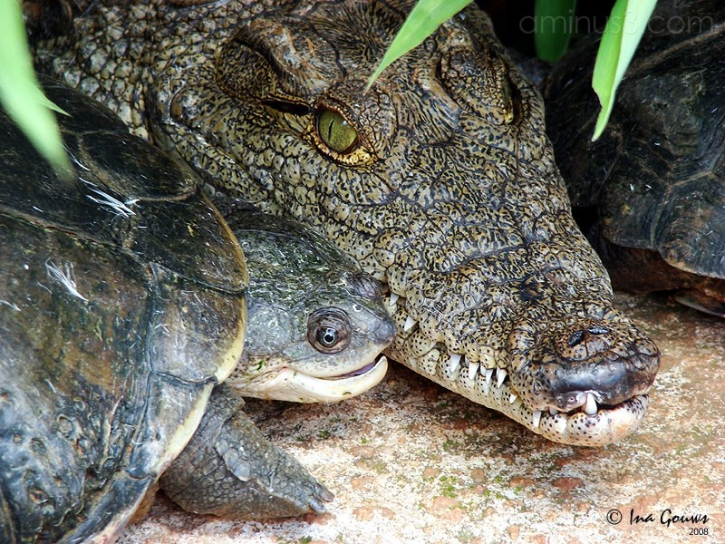 Baby crocodile and water tortoise