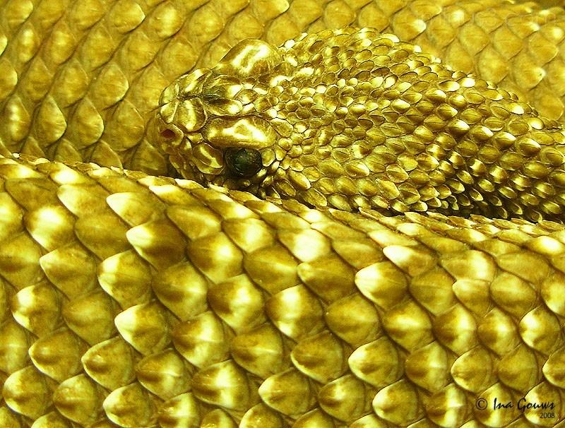 Golden snake