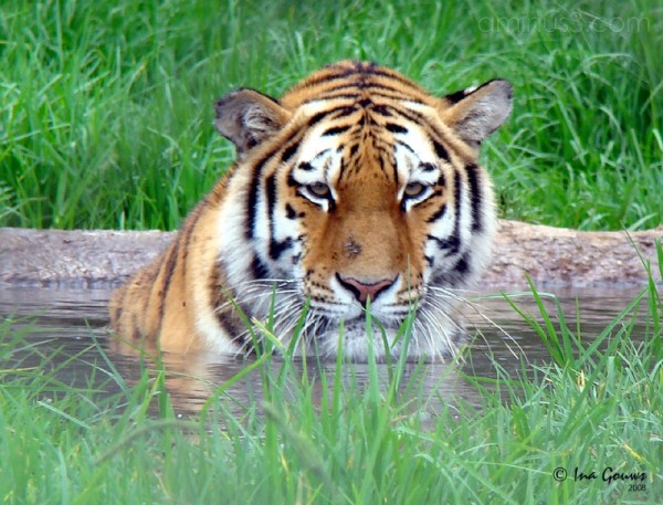 Tiger taking a bath
