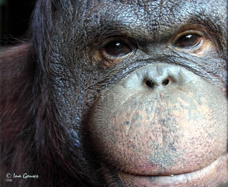 Closeup of orangoutag's face