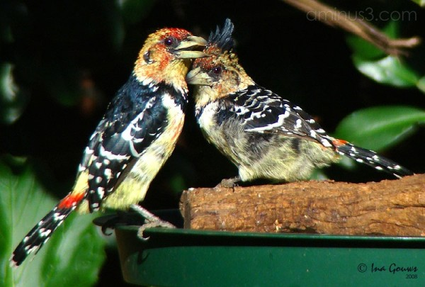 Crested Barbet couple