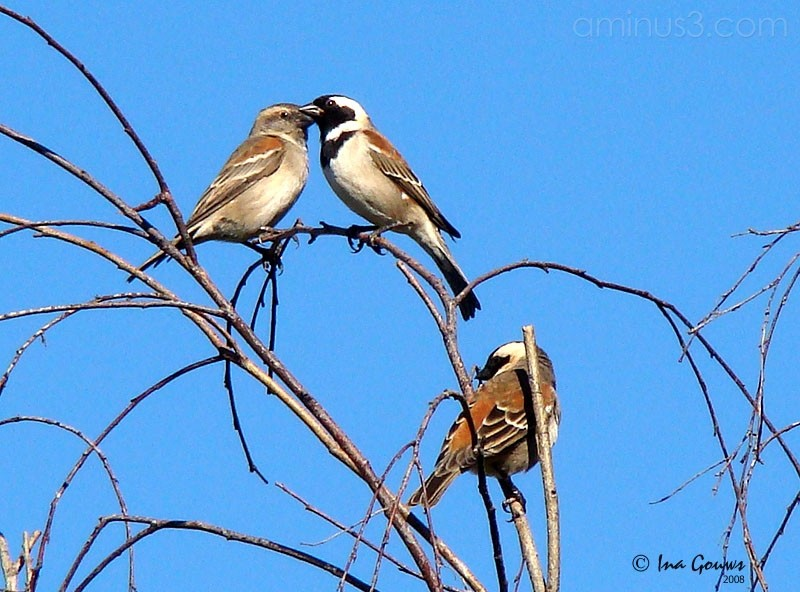 Sparrow Couple