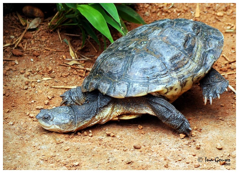 Tortoise loosing its balance