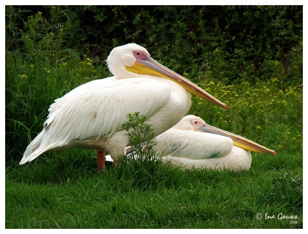 Pelican couple