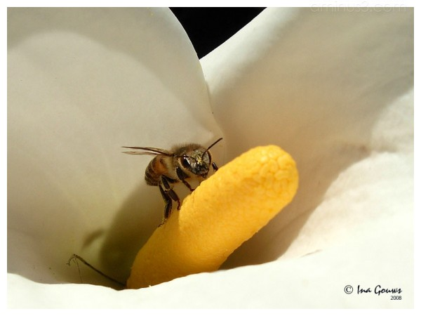 Bee collectect nectar from a arum lilly