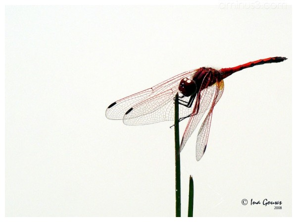 Closeup of red dragonfly