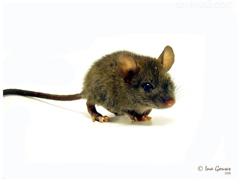Brown house mouse