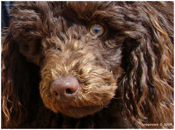 Brown poodle