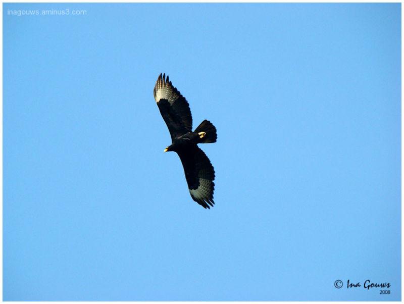 Verreauxs Eagle - Witkruisarend
