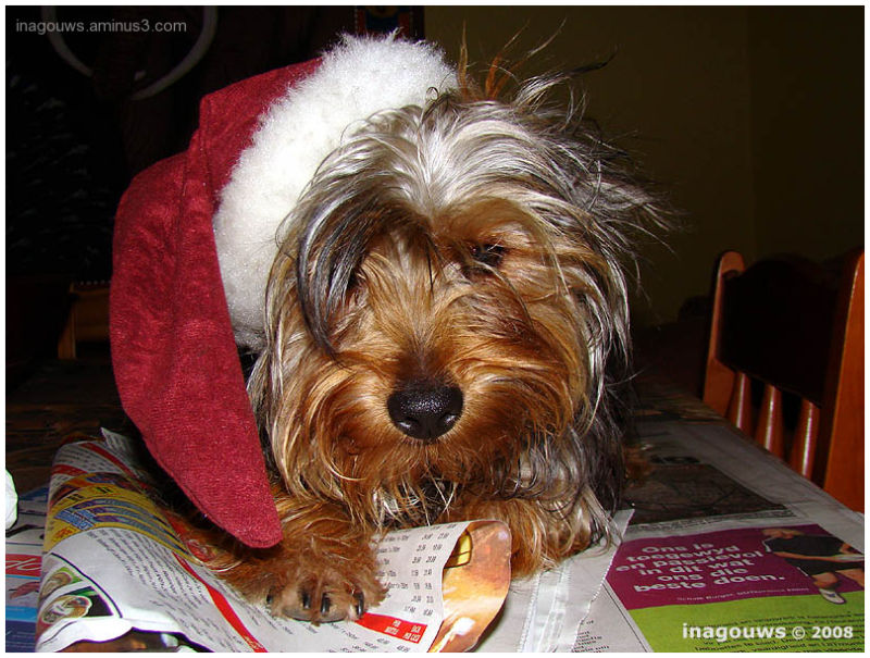 Yorkie with santa's hat