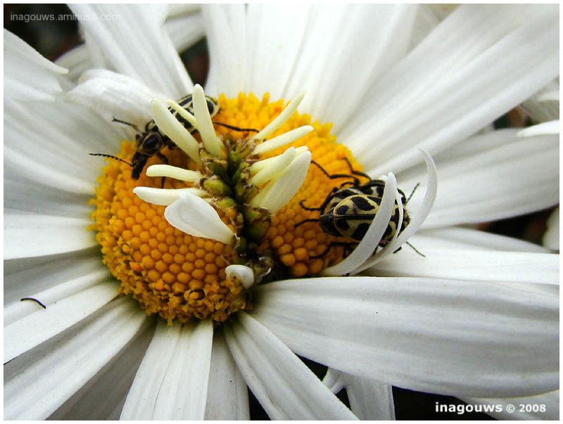 Double headed daisy