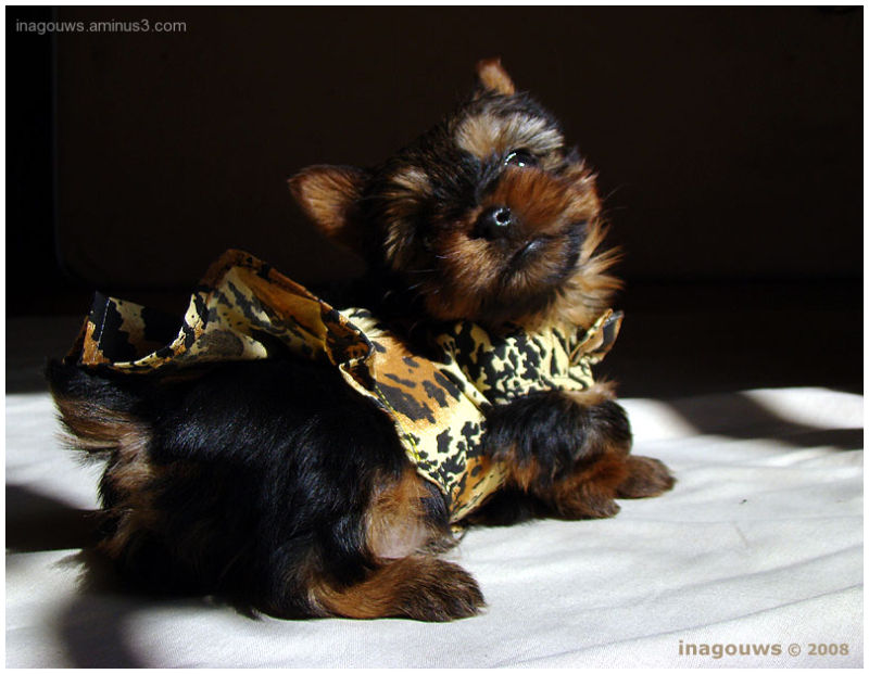 Baby Yorkie with dress