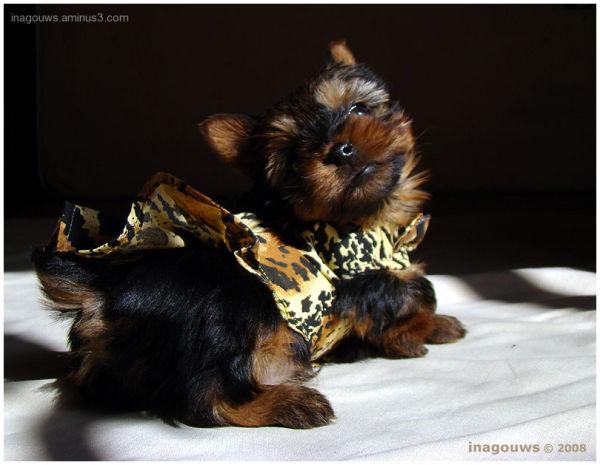 Baby Yorkie with dress