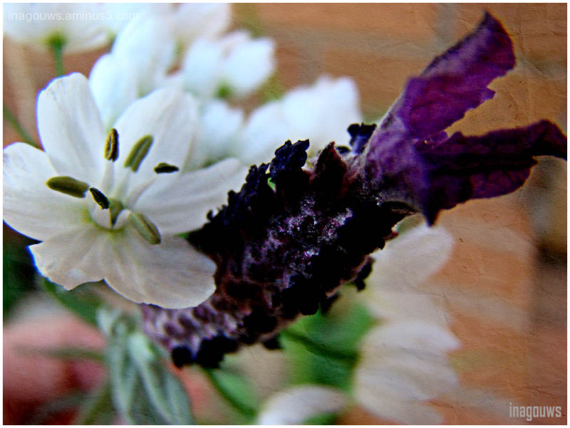 Lavender and white flowers
