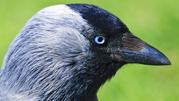 jackdaw close-up