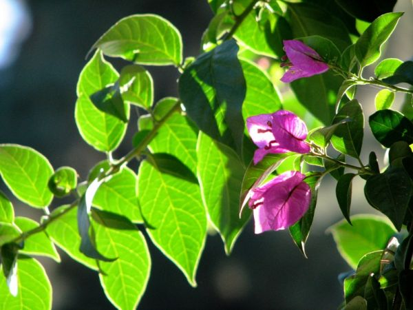 pink flowers and leaves in morning sun